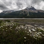 There are countless opportunities for photographing the giant peak when driving along the Icefield Parkway. And It was a great bonus to have some flowers blooming along the river. Thank you and have a great day!